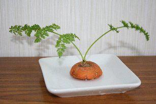 ニンジンの栄養生殖